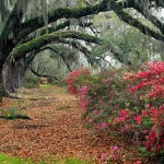 Azaleas_And_Live_Oaks,_Magnolia_Plantation,_Charleston,_South_Carolina